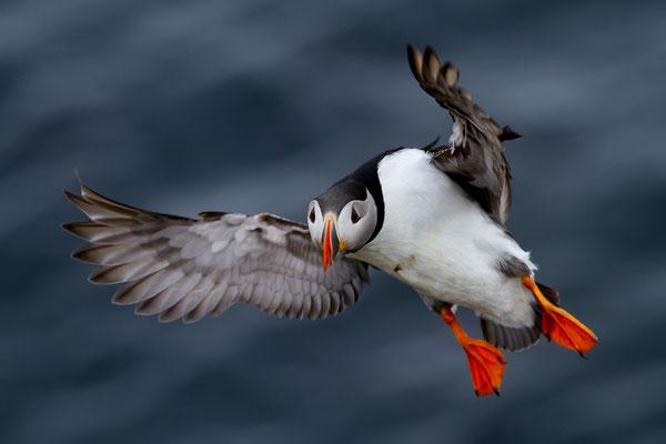 Papageitaucher -Fratercula arctica- Foto: Josef Fleige