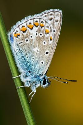 Hauhechelbläuling -Polyommatus icarus-Foto: Josef Fleige