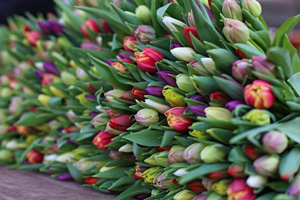 Tulpen -  Foto: Thomas Griebel