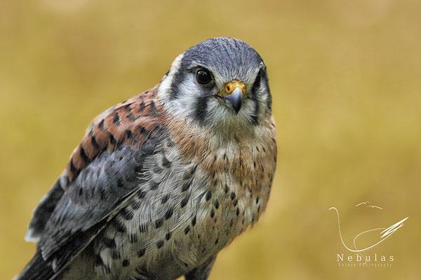 Buntfalke (Falco sparverius), auch Amerikanischer Turmfalke genannt- Foto: Michael Milfeit