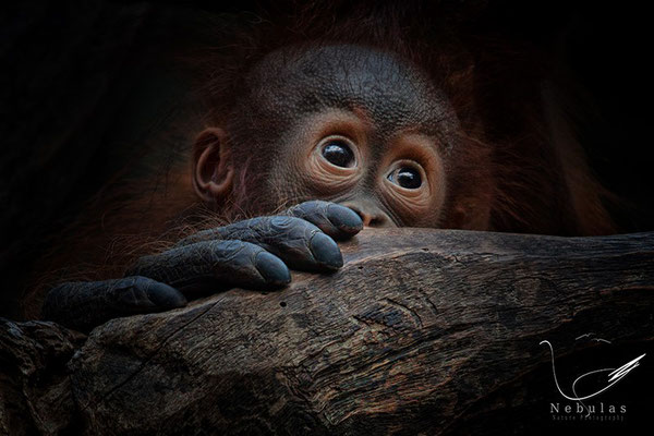 Orang-Utan (Pongo) - Foto: Michael Milfeit