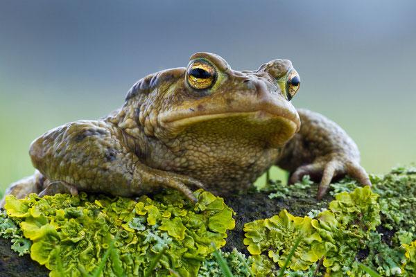 Erdkröte (Bufo bufo) - Foto: Josef Fleige