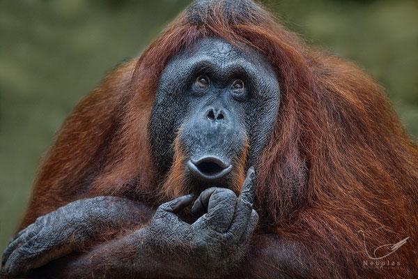 Orang-Utans (Pongo) - Foto: Michael Milfeit