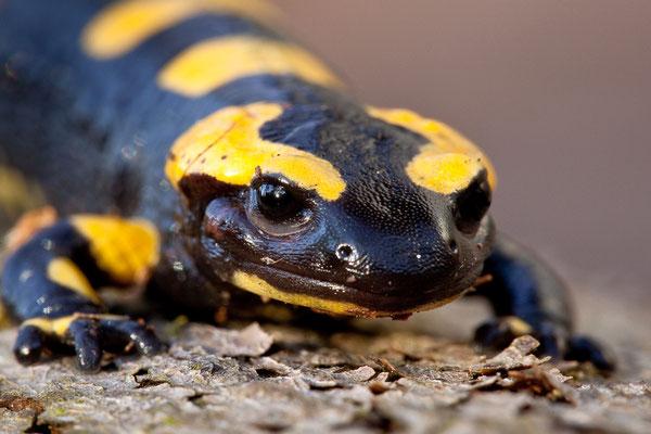 Feuersalamander (Salamandra salamandra) - Foto: Josef Fleige