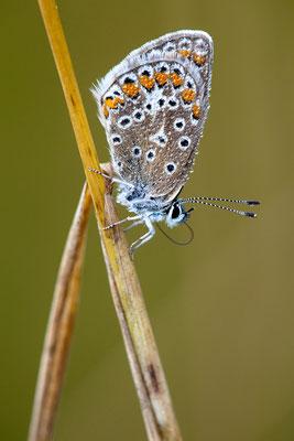 Hauhechelbläuling -Polyommatus icarus- Foto: Josef Fleige
