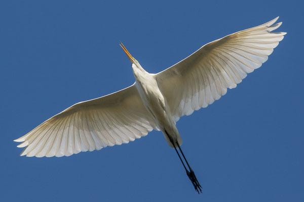 Silberreiher -Egretta alba- Foto: Josef Fleige