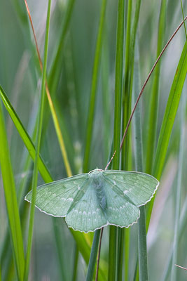 Grünes Blatt -Geometra papilionaria- Foto: Josef Fleige