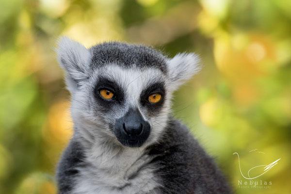 Lemur - Katar - Foto: MIchael Milfeit