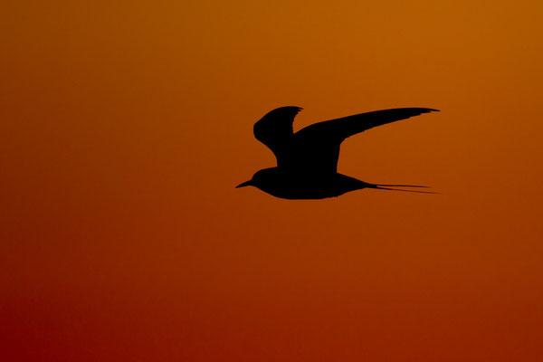Küstenseeschwalbe -Sterna paradisaea- Foto: Josef Fleige