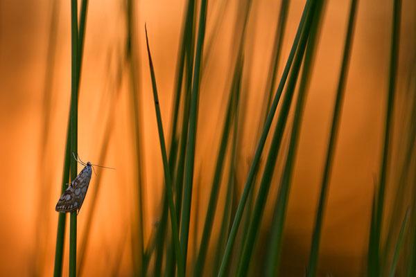 Laichkrautzünsler -Elophila nymphaeata- Foto: Josef Fleige