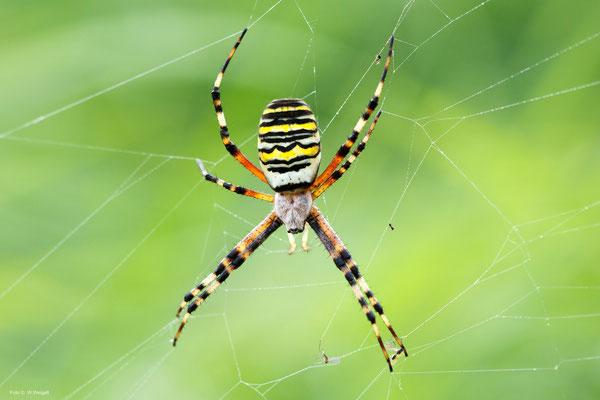 Zebra-oder Wespenspinne