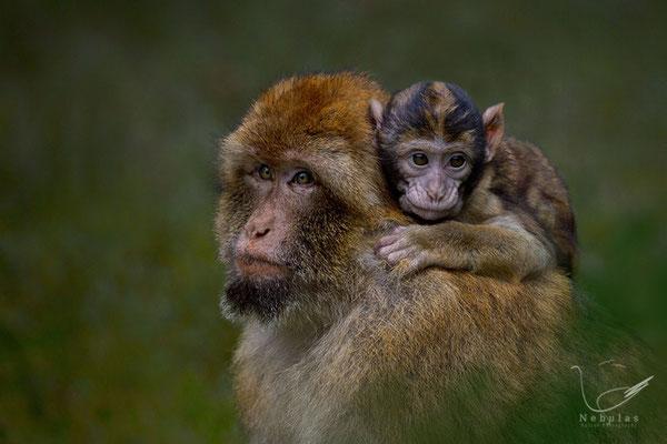 Berberaffe (Macaca sylvanus) - Foto: Michael Milfeit