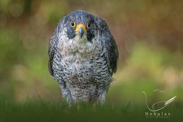 Wanderfalke (Falco peregrinus) - Michael Milfeit