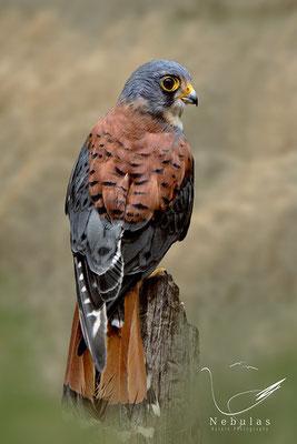 Turmfalke (Falco tinnunculus) - Michael Milfeit