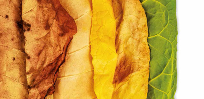 Tobaksblade med forskellige modningsgrader. (Billede: shutterstock)