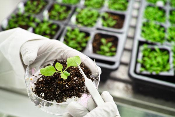 Brug af tobaksplanter i laboratoriet. (Billede: shutterstock)