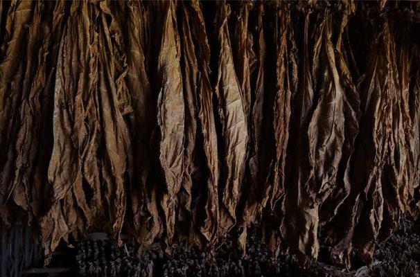 Tobaksblade, som er høngt til tørre (Billede: shutterstock)