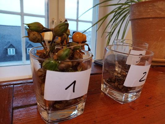 Dezember 2020 – Die ersten Samenkapseln sind gepflückt und dürfen jetzt trocknen.