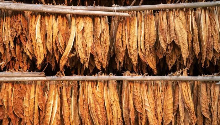Tobakblade efter at de er blevet hængt op til tørre. (Billede: shutterstock)