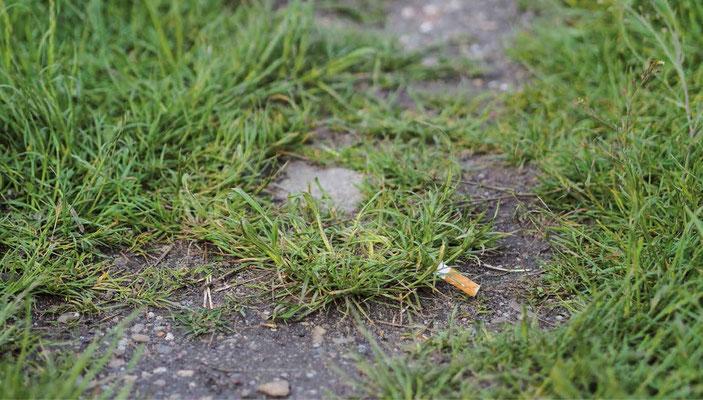 Cigaretstumpe, som ligger i græsset. (Billede: shutterstock)