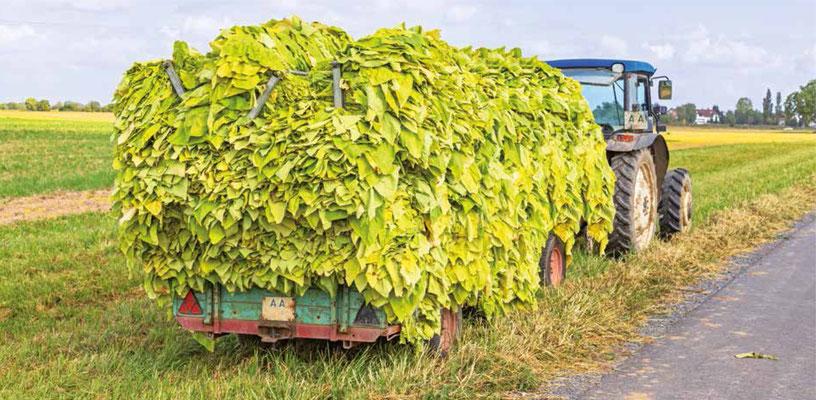 Høstede tobaksblade transporteres for derefter at blive forarbejdet. (Billede: shutterstock)
