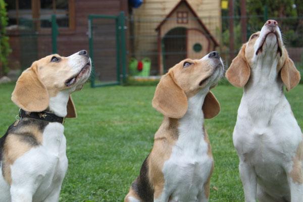 Beagle-Erwartungs-Blick