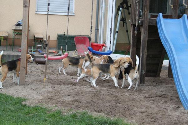 Spielplatz-Beagle