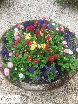 Grabschale mit bunten Bellis und blauen Stiefmütterchen für den Frühling