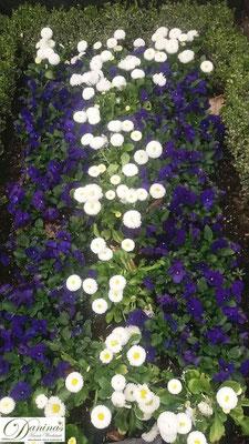 Grabbepflanzung Frühling mit blauen Stiefmütterchen und weißen Bellis