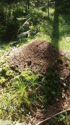Ameisenhaufen im Zauberwald