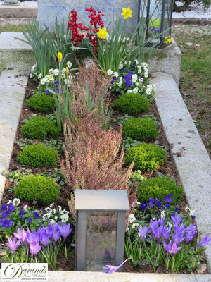 Grab Übergangsbepflanzung mit Heide aus dem Herbst und frischen Frühlingsblumen