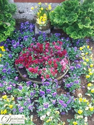 Grabgestaltung Frühjahr mit roten, blauen und gelben Stiefmütterchen