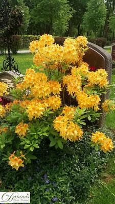 Grabbepflanzung mit gelb blühendem Rhododendron