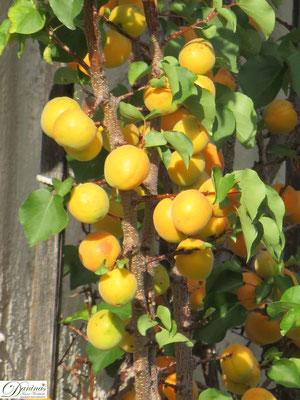 Was kann ich gegen Artensterben tun um die Obsternte zu sichern? Einen naturnahen Garten gestalten.