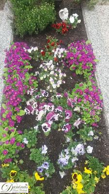 Grabbepflanzung mit Stiefmütterchen und violetten Primeln