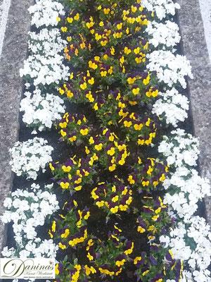 Grabbepflanzung mit weißen und gelb-violetten Stiefmütterchen