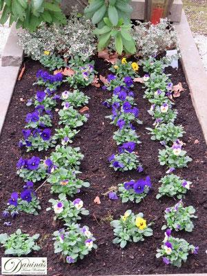 Grabbepflanzung Frühling mit Stiefmütterchen
