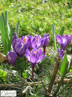 Bienenblumen & Schmetterlingsblumen - die schönsten Zwiebelpflanzen wie Krokusse im Frühjahr