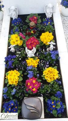 Grabbepflanzung mit bunten Primeln und blauen Stiefmütterchen