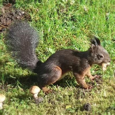 Eichhörnchen frißt Pilz