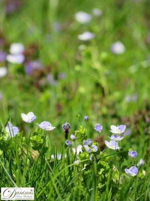 Insekten schützen: Rasen nicht zu häufig mähen, so dass Wildkräuter wachsen können.