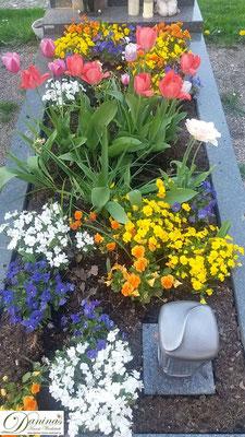 Grabbepflanzung Frühling mit bunten Stiefmütterchen und Tulpen