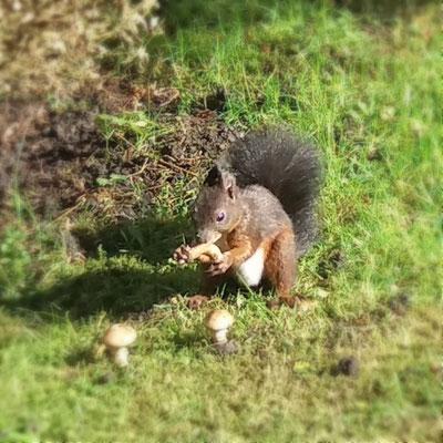 Eichhörnchen mit drei Pilzen