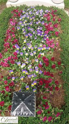 Grabbepflanzung Frühling mit roten und violetten Stiefmütterchen
