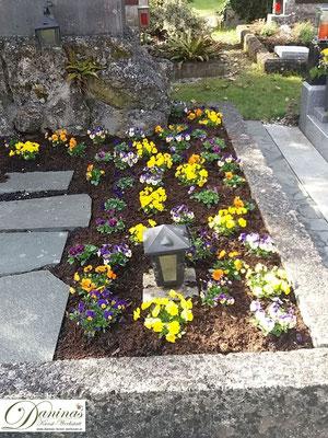 Grabbepflanzung Frühjahr mit bunten Stiefmütterchen
