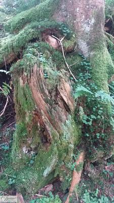 Baumstamm mit Moos im Zauberwald