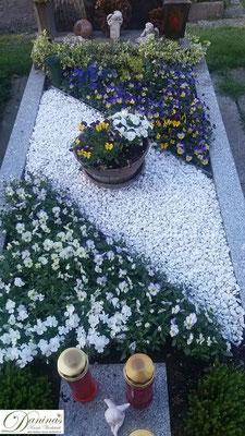 Grabbepflanzung im Frühling: weiße und blaue Stiefmütterchen mit Steinen