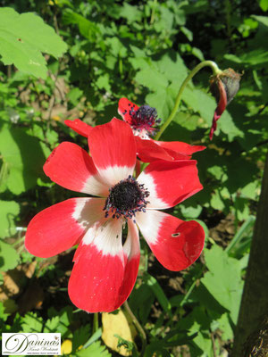 Bienenfreundliche Blumen & Schmetterlingsblumen - die schönsten Zwiebelpflanzen wie Anemonen