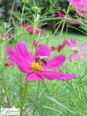 Insekten schützen durch selektive Auswahl nektarreicher Pflanzen mit ungefüllten Blüten. Darauf achten, dass ausreichendes Angebot der gleichen Pflanzenarten zur Verfügung steht.