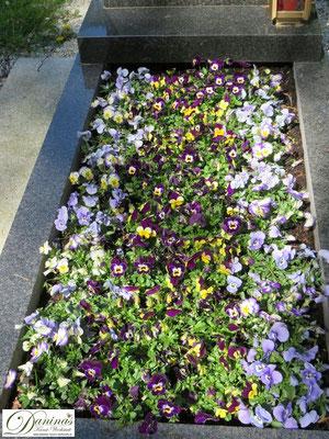 Grabbepflanzung mit bunten Stiefmütterchen